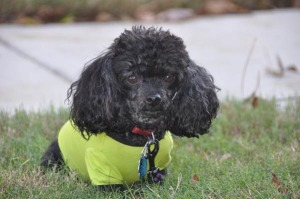 Fisbo, the spoiled 6 pound poodle, serves as Marketing Manager.